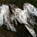 Morre na Serra do Suído unha aguia albela ao chocar en voo cun aeroxerador